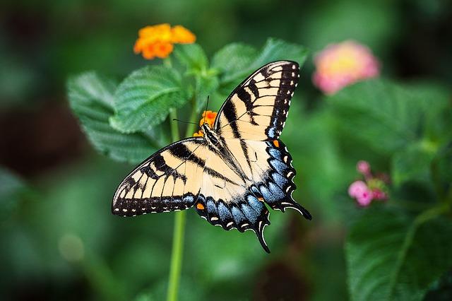アゲハ蝶がオレンジの花に止まっている画像