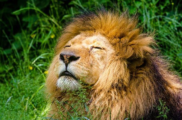 ライオンが黄昏ている様子
